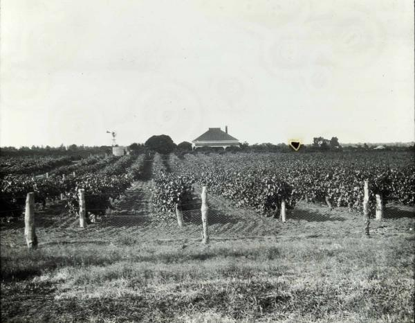 ineyard in Victoria, c1920 [picture]